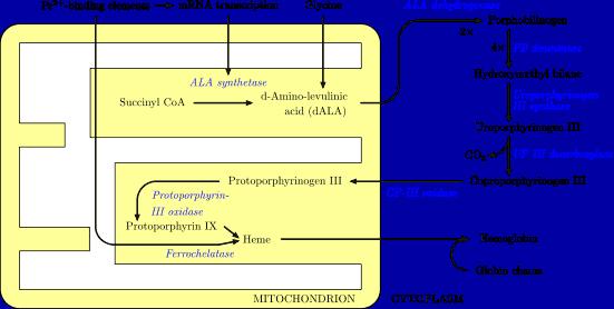 Heme_synthesis_USMLE_Step 1